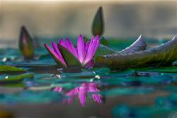 water-lily-4000702-960-720